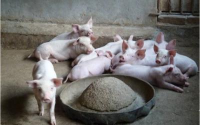 Hộ gia đình chăn nuôi lợn phải đối mặt với tổn thất nghiêm trọng